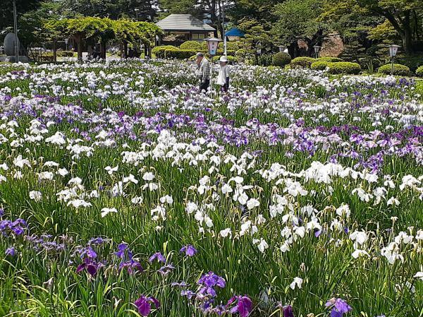 '19あやめ公園開花情報(7月1日):画像