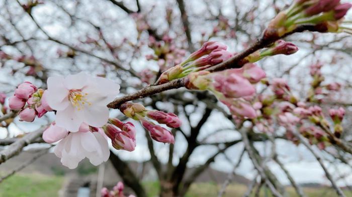 '21 長井市内の桜開花情報(4月5日):画像