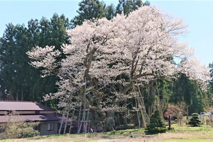 '21 長井市内の桜開花情報(4月16日):画像