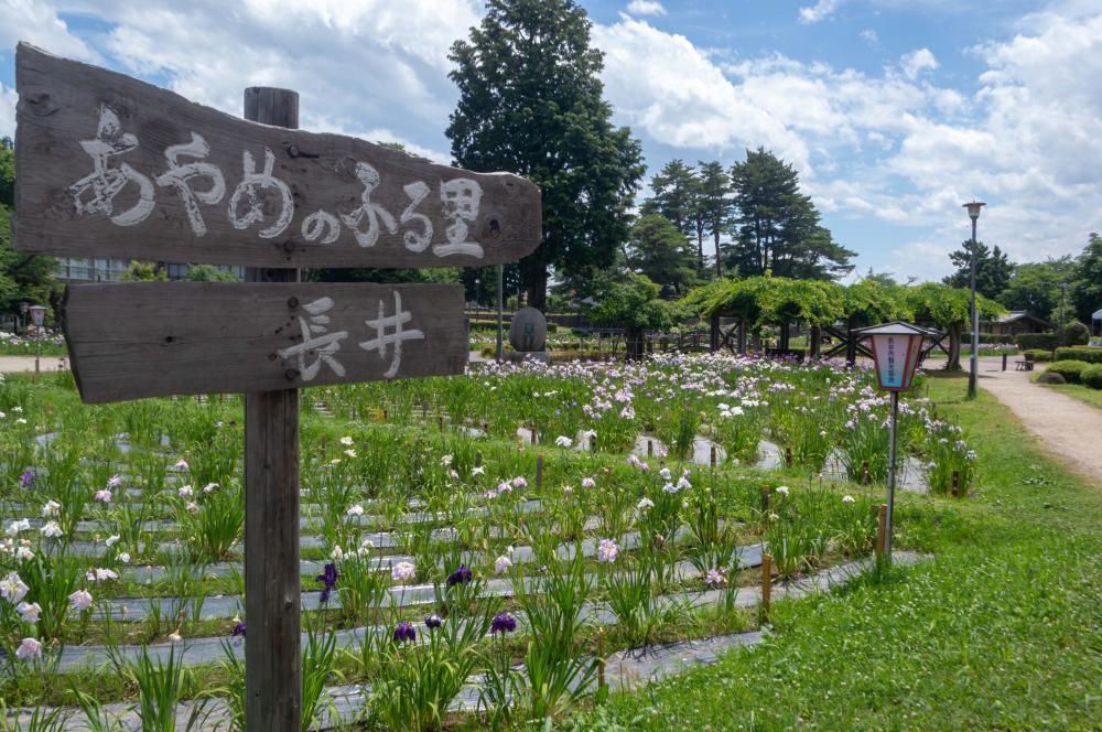 '18あやめ公園開花情報(6月29日):画像