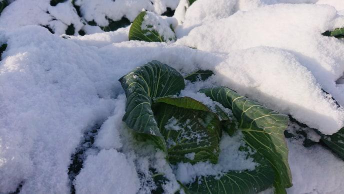 【白鷹町】ほっこり農園「雪の下キャベツ収穫体験」参加者募集中!:画像