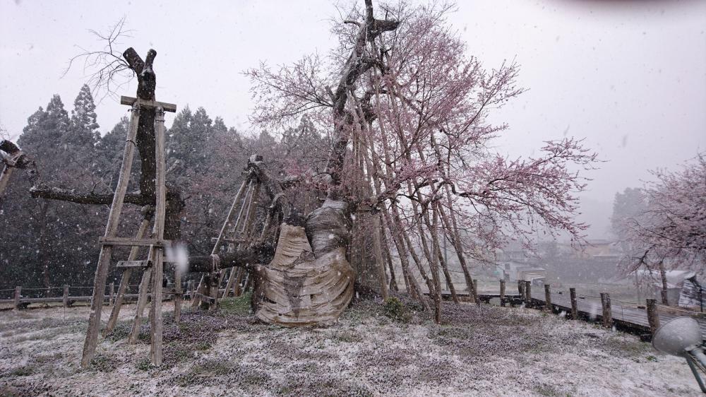 """4月11日 突然の雪に、咲初めの""""久保桜""""、震えています。:画像"""