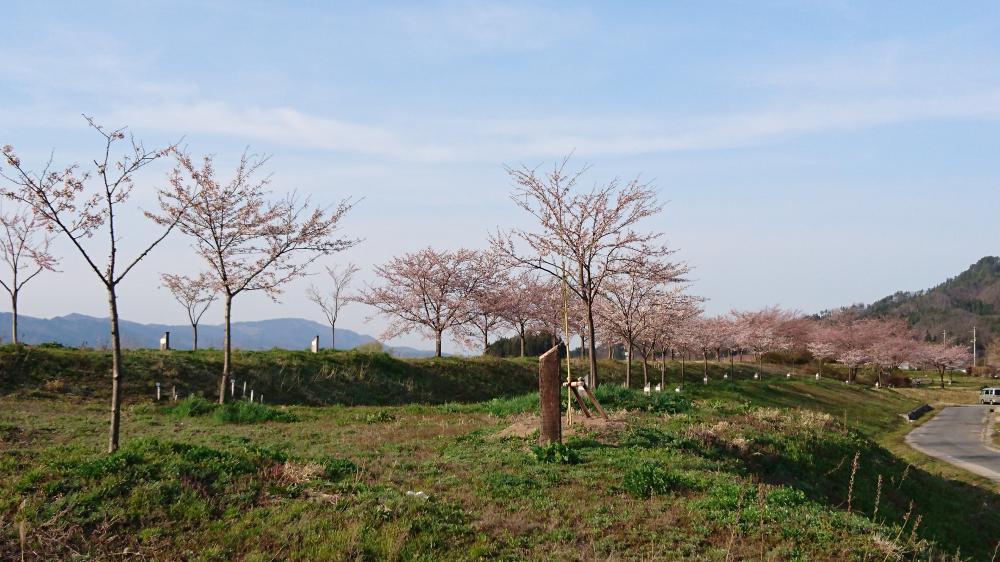 4月12日 【最上川桜づつみ】今日は3分咲きです:画像