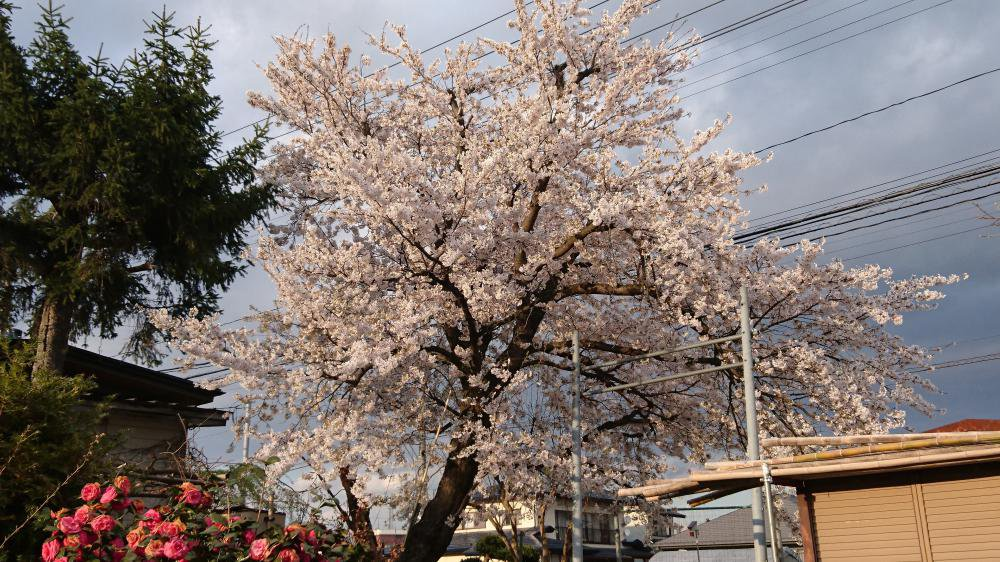 ご存じですか?桜は満開になるまで、花は散らないのです。:画像