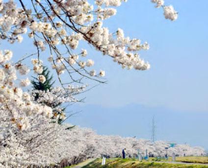 桜回廊 名木巡り